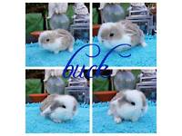 Mini lop babies RESERVE ONLY