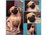 Stunning male Pug puppy! Champion bloodline
