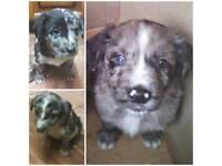 Cute Border Collie & Springer Spaniel Crossed Puppies for sale