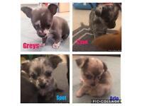 Blue Merle Chihuahua Puppies