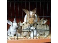 Chinchilla X bunnies