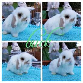 3 beautiful mini Lop babies for RESERVE ONLY