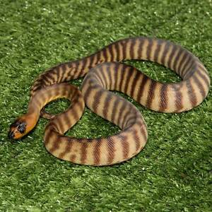 Woma Python Hatchlings Howard Springs Litchfield Area Preview
