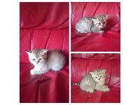 Lovely miniature Pedigree kittens available