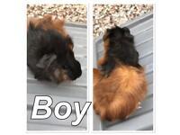 Baby Guinea pigd