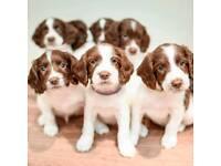 champion bred kc reg English Springer spaniel pups for sale