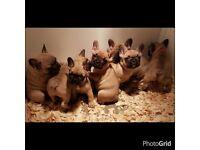 Quality french bulldog dog pups pup puppy dog