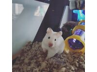 Young female Syrian hamster. Buyer must collect