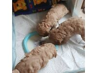 I have 5 cavapoo puppy all boys