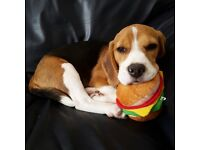 Beautiful 4 month old Beagle puppy
