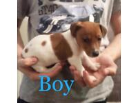 Four Jack Russel puppies 7 weeks old