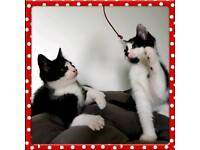 Black and White Kittens, Wormed, 1st Vaccination and Microchipped. Free voucher for Neutering..