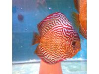 Punchards Red TurkxLeopard 3.5 inch £20 ,1,mileJ2 M5