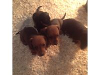 Minature dachshund puppies one male shaded red puppy left.