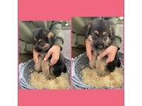 GSD puppies looking for there forever homes