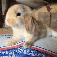 Lots of baby holland lop bunnies for sale!