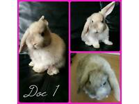 **Mini lop bunnies for sale**