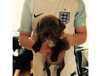 Dogue de Bordeaux cross French mastiff puppy's 350