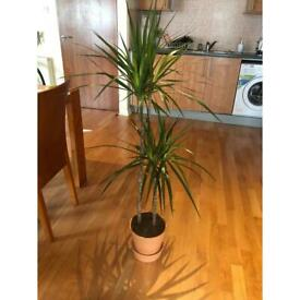 Large Dragon Tree Plant with Clay Pot