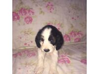F1 Cockapoo puppy's 3 girls left ready now