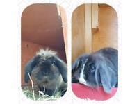 Pair of Lion lop rabbits