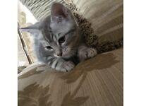 Chinchilla x Blue marble bengal kitten