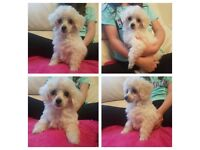 Beautiful toy poodle x chihuahua girl ready now