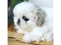 Quality White Pekingese Puppies imported show lines