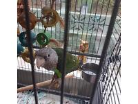 cape neck parrot