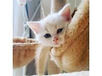 Persian kittens - Doll faced