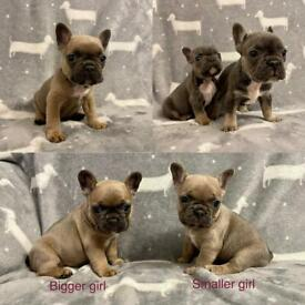 KC French bulldog puppies. Health tested/KC Reg parents (both here with us) girls & boy!