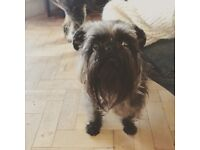 Silver haired Brussels Griffon