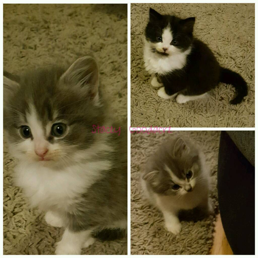 Persian cats for sale wirral