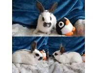 Lovely English rabbits