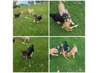 Chorkie pups ;)