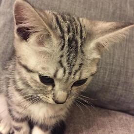 Silver Tabby British Shorthair Kitten
