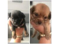 Chihuahua puppies long and short haired
