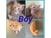 Stunning ginger male kitten