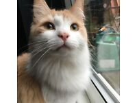 Lost Cat - SK6. Ginger & White long haired male. Neutered & chipped.