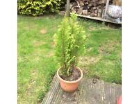 Conifer in pot