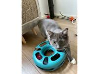 Gorgeous fluffy long hair domestic grey and white kitten