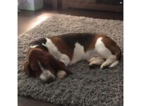 1 year old Basset hound