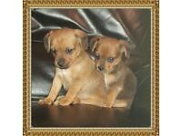 Border terrier x Jack Russell puppys