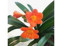 Lovely Large Orange Clivia Minata Plant