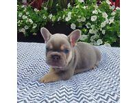 French bulldog Lilac and merle boys