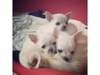 Tiny white chihuahua puppies all females