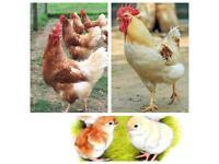 Trio of Cinnamon Queen chickens