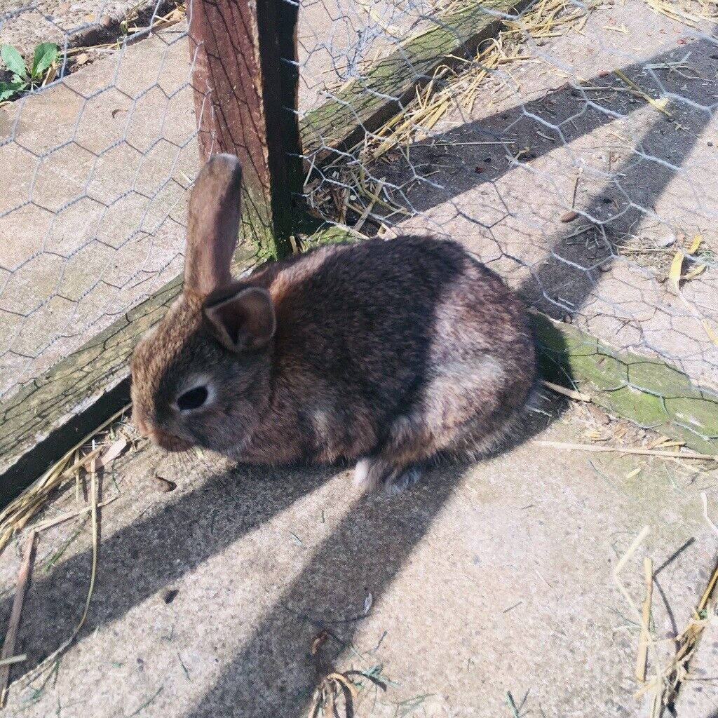 Baby Rabbits For Sale 2 Boys 1 Girl In Grantham Lincolnshire Gumtree