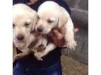 LABRADOR PUPPIES KC REGISTERED FOR SALE. Beautiful Golden Girls & Boys available