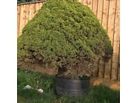 Large Japanese bonsai spruce trees x2 30+ years old well established collection asap